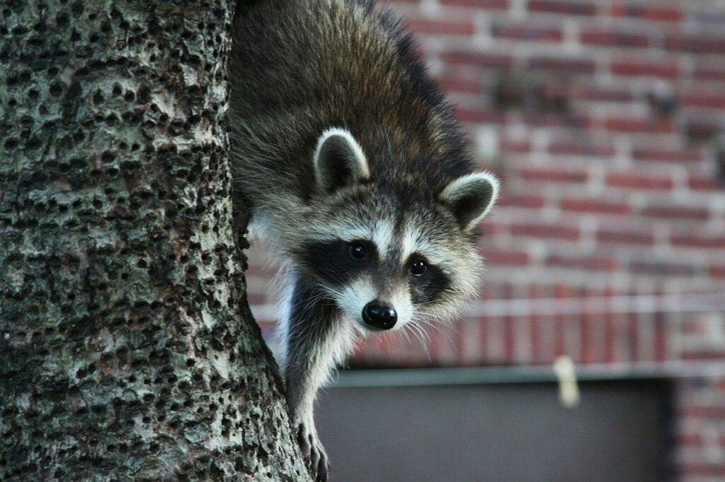 raccoon, animal, tree