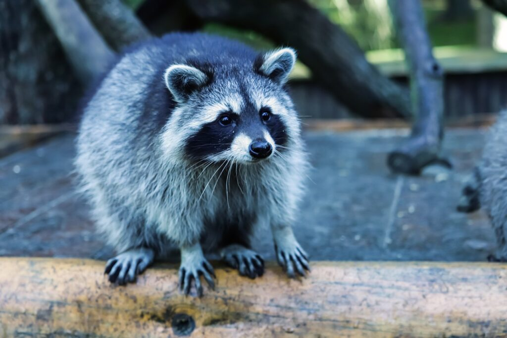 raccoon, mammal, nature