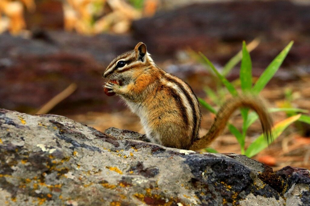 chipmunk, nature, wildlife
