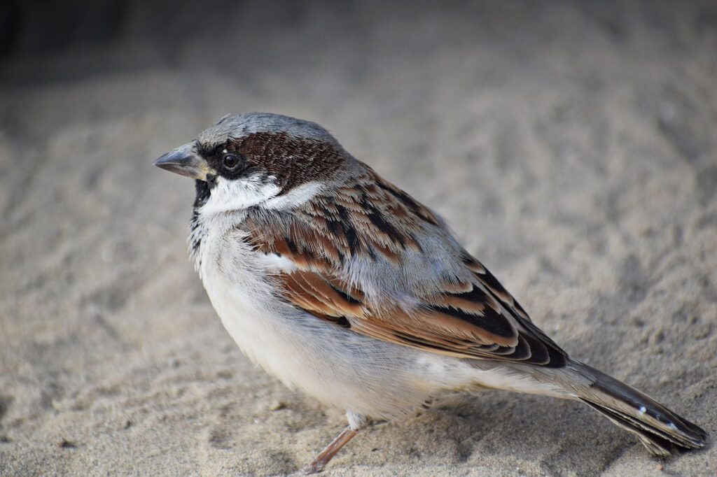 male, sparrow, bird